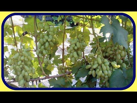 Болеет виноград ягоды стали засыхать чем обработать
