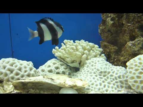 Humbug Damselfish