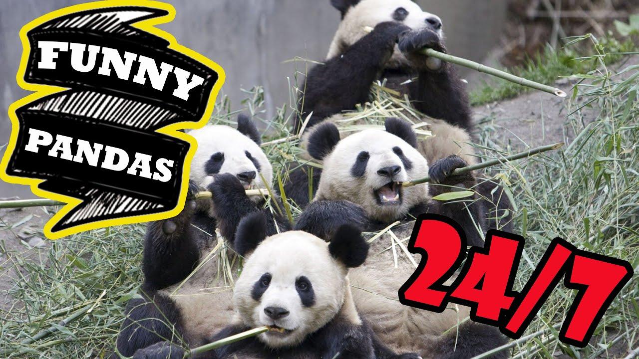 Panda 24/7