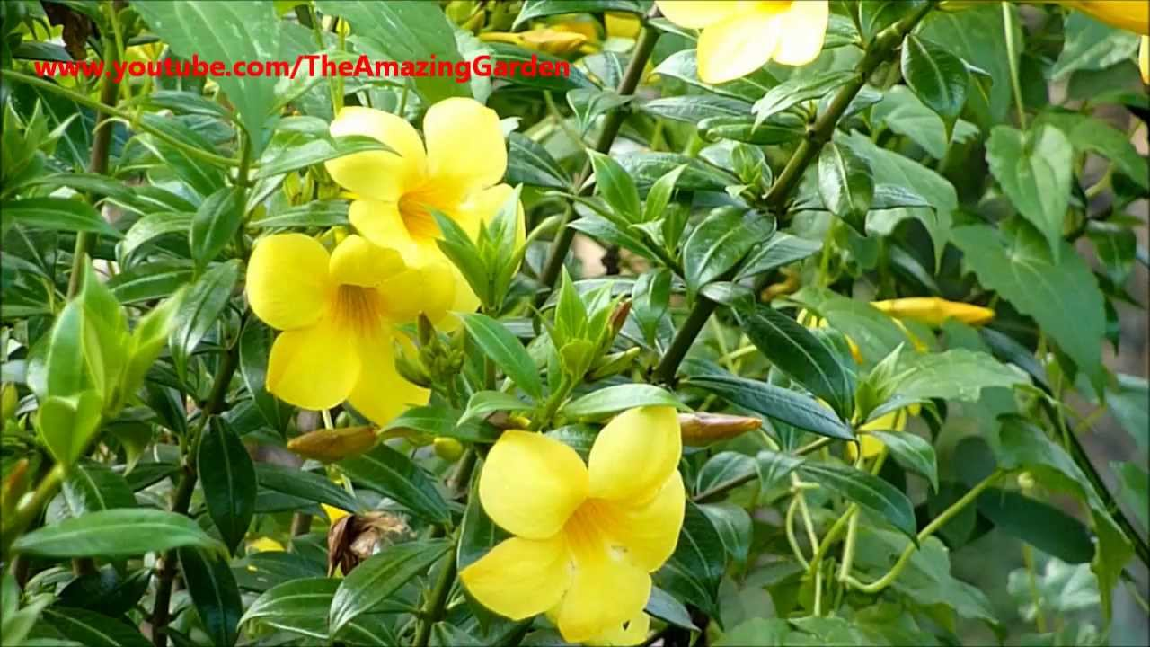 Allamanda yellow bell buttercup flower golden trumpet youtube mightylinksfo