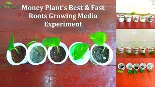Money Plant's Best & Fast Roots Growing Media Experiment | Finding a Better Media //GREEN PLANTS