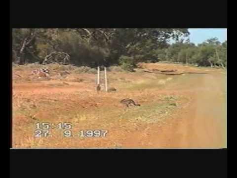 Australia Baby Emus At Walgett Northern New South Wales