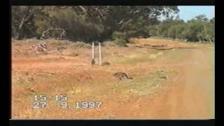 Australia Baby Emus At Walgett Northern New South Wales