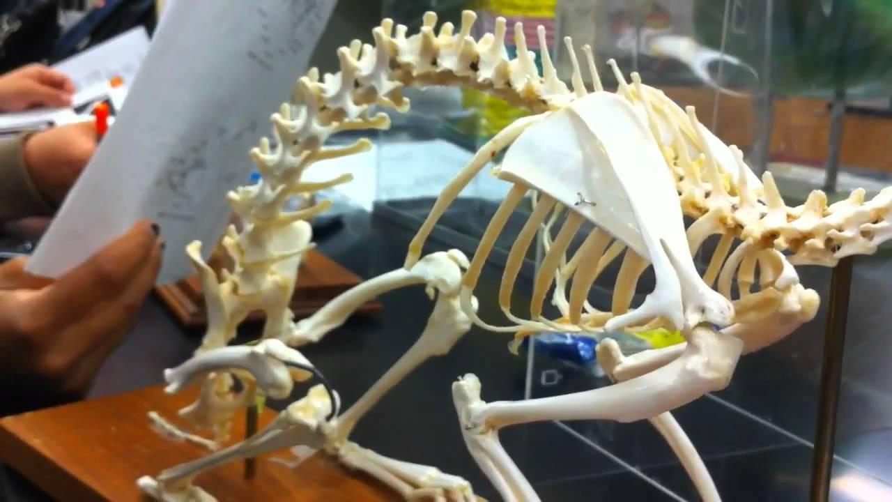 bird rabbit and feline skeleton - YouTube