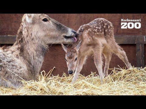 Pére David´s Deers First Steps in Helsinki Zoo (Elaphurus davidianus)