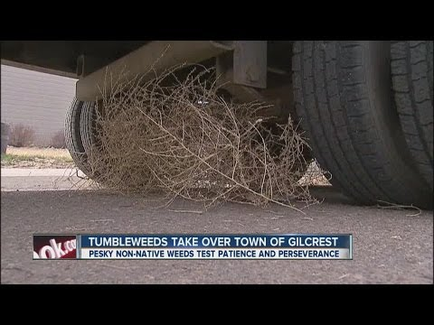 Tumbleweeds take over town of Gilcrest
