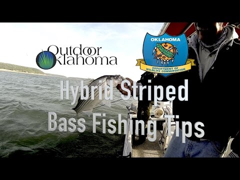 Hybrid Striped Bass Fishing Tips Extra (Carolina Rig, Fish Cleaning)