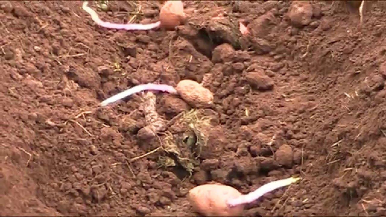 Cultivo de patatas en el huerto org nico youtube for Como cultivar patatas