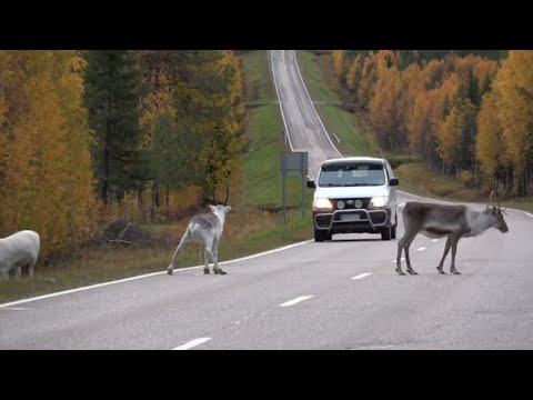 Reindeer On The Road In Lapland Finland: Santa Claus Reindeer In Autumn Before Christmas Rovaniemi