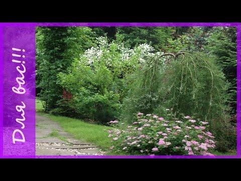 Ива в саду. Сорта ивы декоративной. Ивы уральской селекции.