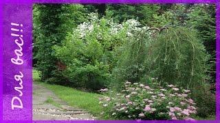 видео Ива: описание видов. Живая изгородь из ивы.