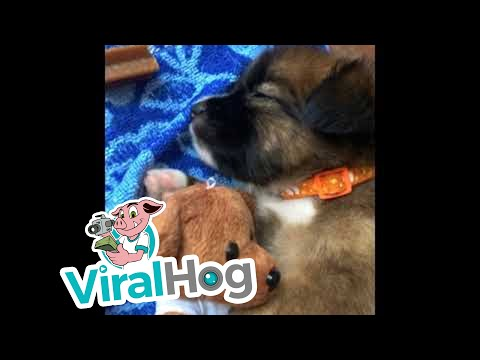 Jim Show - Puppy Cuddles With His Teddy Bear