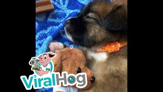 Puppy Gives Teddy Bear Sleep Time Cuddles || ViralHog