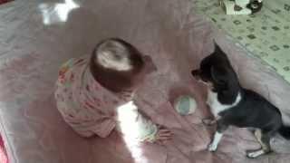 生後8ヶ月の赤ちゃんと、チワワがおもちゃの取り合いをしていたので撮影.