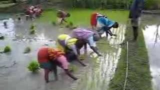 Rice planting step 2
