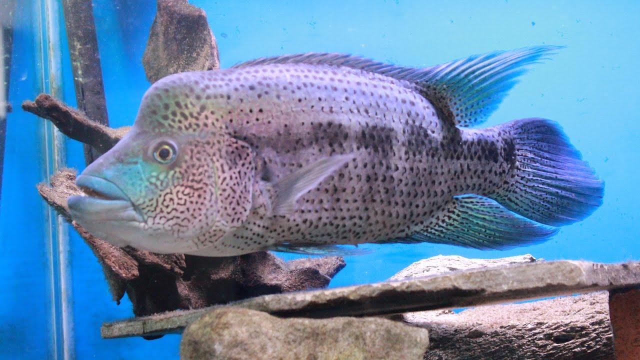 Wolf Cichlid Update Video Parachromis Dovii Youtube