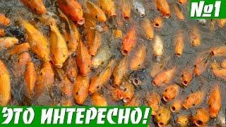 Оспа карпов. Вирусное заболевание карповых рыб