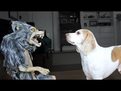 Dog vs. Werewolf: Funny Dog Maymo