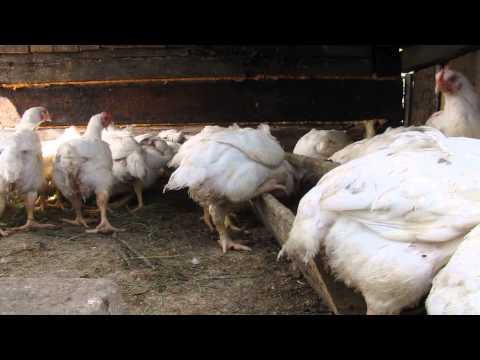 Бройлер КОББ 500. Наш опыт выращивания. Цыплятам 1 месяц 10 дней