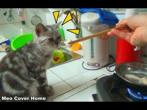 Cat Eating Chicken Food And So Yummy | Funny Cat Vines  2017 [Funny Pets]