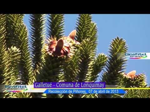 Piñones, Araucarias