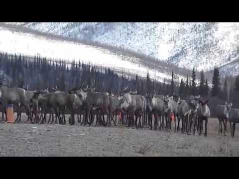 Fortymile caribou herd in Chicken, Alaska