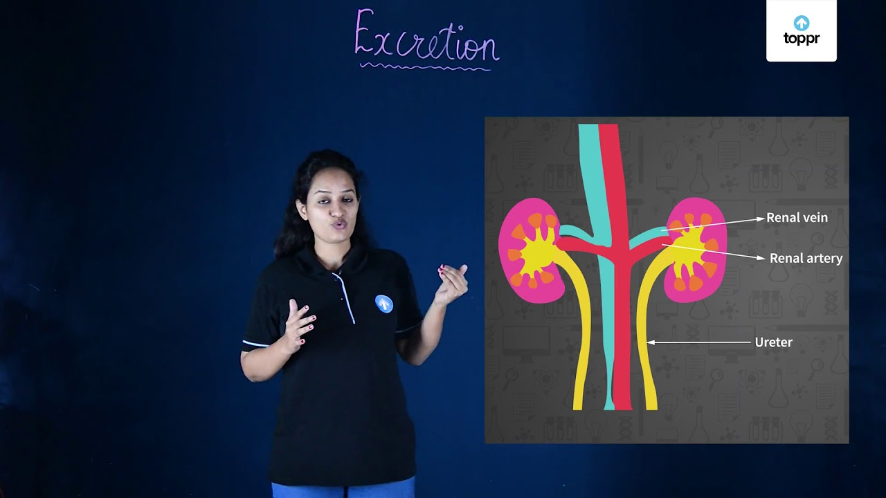 Human Excretory System: Organs, Functions, Videos with Questions