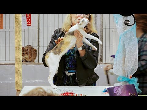 CFA International Show 2018 - Oriental Shorthair kitten class judging