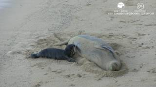 Hawaiian Monk Seal Mother Nursing Her Pup