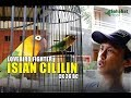 Lovebird Isian Cililin Jadi Masteran Di Rumah Ck  Mp3 - Mp4 Download