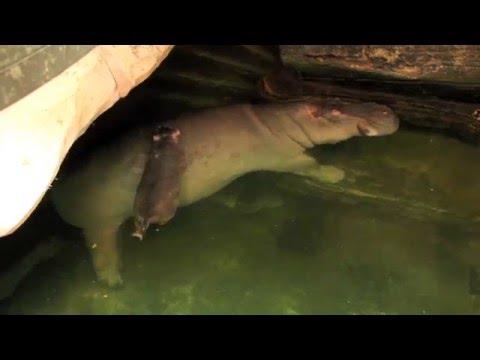 Flusspferd-Baby im Erlebnis-Zoo Hannover