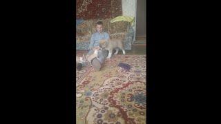 Алабаи Крыма I ДОЛГОЖДАННАЯ МИРА 2,5 мес (видео из архива).
