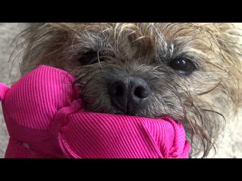 Puck the Border Terrier playing with his Wubba.