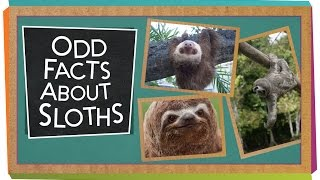 Odd Facts About Sloths
