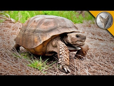 Thumbnail: On the Lookout for the Mighty Gopher Tortoise!