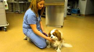 Cavalier King Charles With Syringomyelia