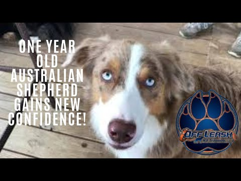 Knoxville Dog Trainers - One Year Old Australian Shepherd Gains New Confidence!
