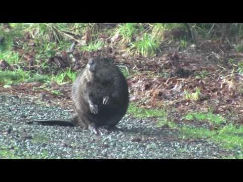 Beaver on the side of Walkers Hook Rd on Salt Spring Island part 1