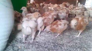 Poultry Farming in Uganda Okulunda Enko Zamagi Kazi ni Kazi Kuku