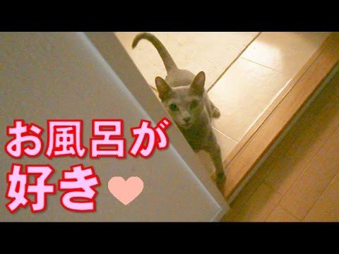 【猫がお風呂だよ〜に大興奮!】家の中を駆け回って浴室にゴー!  Russian blue cat got excited with the bathtime call