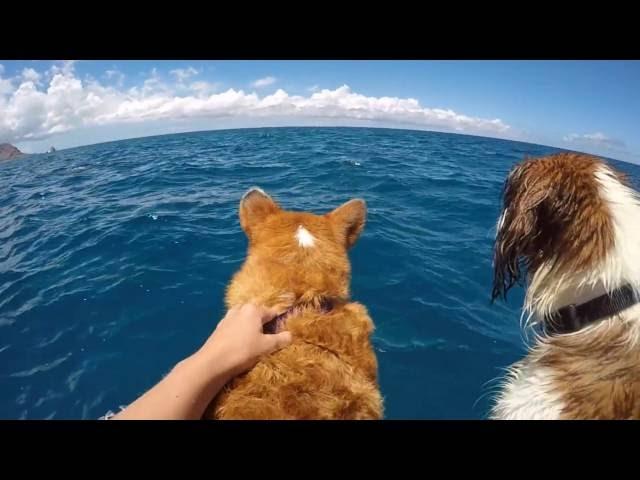 Corgi Meets Dolphins