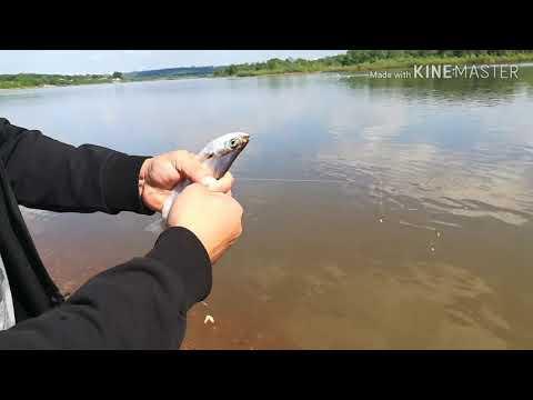 Вопрос: Чехонь – что это за рыба?