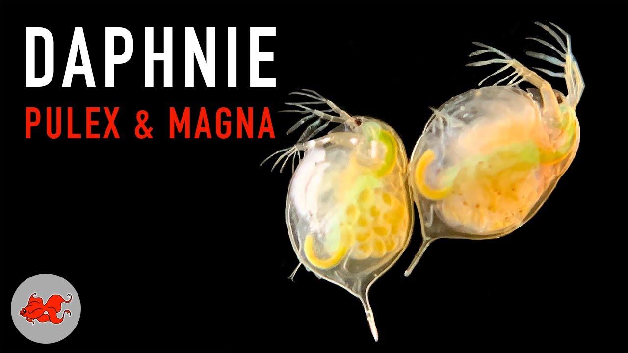 Daphnie pulex et magna