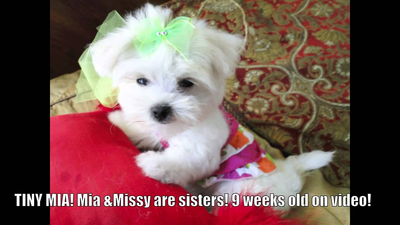 TINY MALTESE PUPPIES! teacup maltese puppies for sale