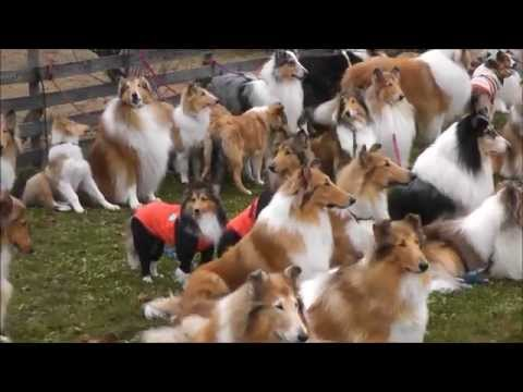 Rough Collie meeting in Japan :  山中湖オフ会 in Woof No.1 2015.11.12