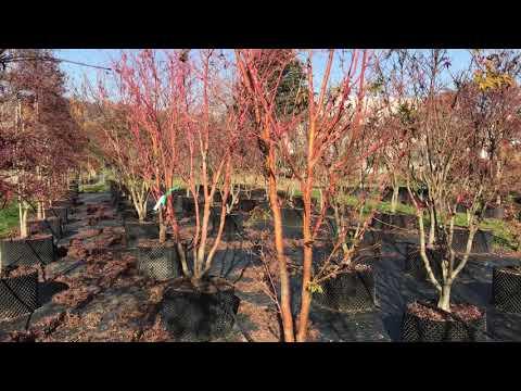Acer palmatum 'Sango Kaku' at Big Plant Nursery