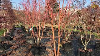 Acer palmatum 'Sango Kaku' at Big Plant Nursery