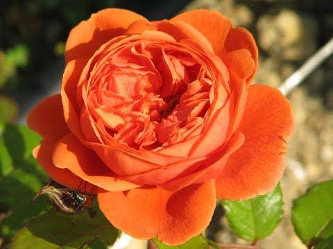 обрезка английских романтических роз ( роз Остина), питомник роз Полины Козловой