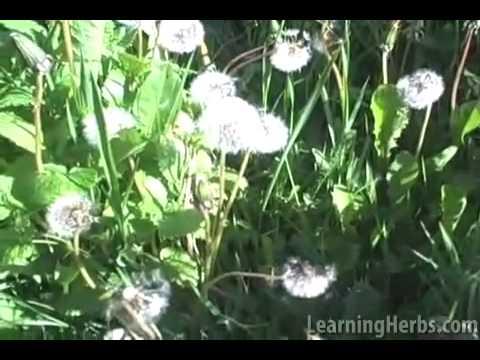 Dandelion herb: Taraxacum officinale