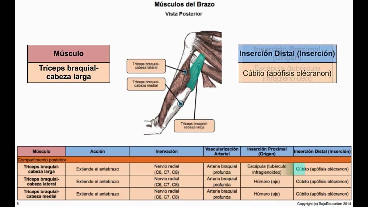 Musculos del Brazo (Posterior) - YouTube